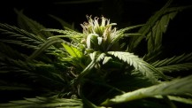 marijuana_weed_420_ganja____e_1600x900